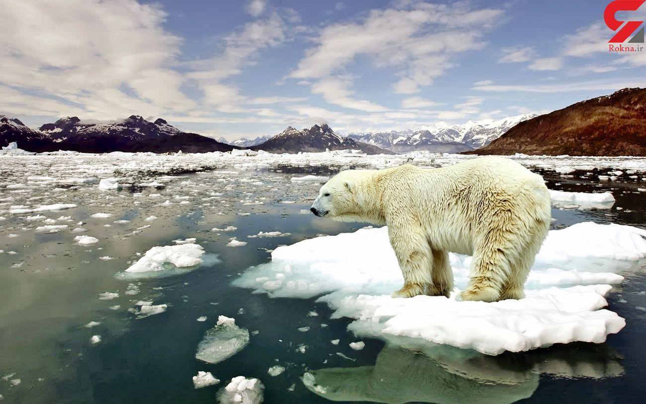 احتمال انقراض خرسهای قطبی در ۴۰ سال آینده