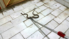 وحشت خانواده بوکانی از حمله یک مار سمی در خانه +عکس