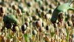 این طوطی ها فقط تریاک می خورند ! + عکس