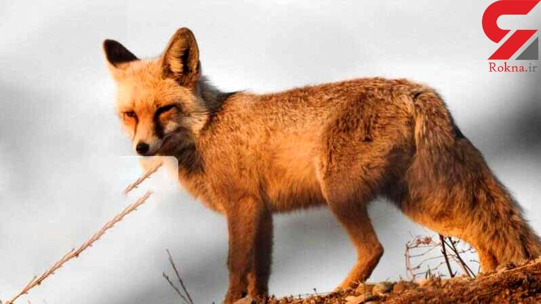 دستگیری شکارچیان روباه و خرگوش در زنجان