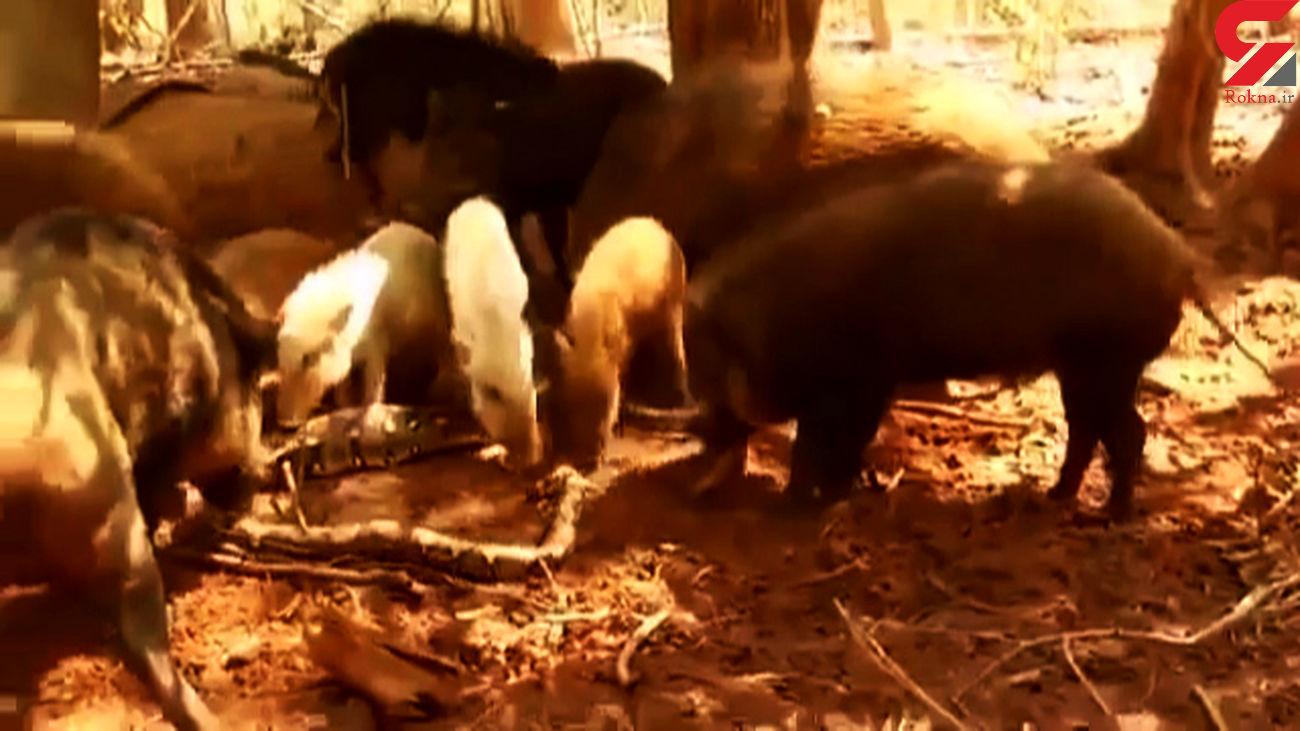 فیلم هولناک از حمله گرازها به یک مار / مار تکه تکه شد !