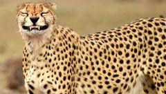لبخند یک یوز به دوربین عکاس حیات وحش + تصویر