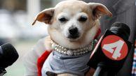 شهردار شدن یک سگ در آمریکا
