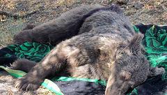 عکس تلخ از مرگ خرس قهوهای درگیلانغرب + جزییات
