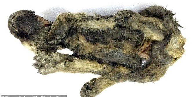 جسد سالم توله سگی که ۱۸ هزار سال پیش مرده است!