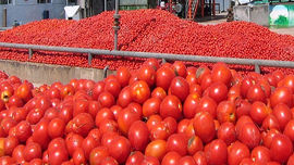 ۴۱ هزار تن گوجه فرنگی در خراسان رضوی خرید حمایتی شد
