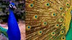 برای دیدن طاووس های زیبا کجا برویم؟ +تصاویر