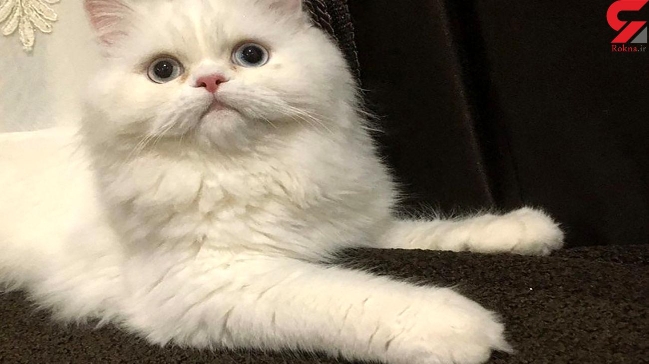 این گربه همه موانع را رد کرد / فیلم