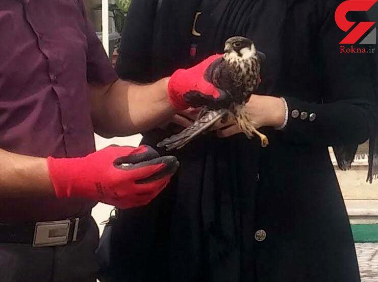 پرنده شکاری لیل از مرگ نجات یافت / در  آستانه اشرفیه رخ داد