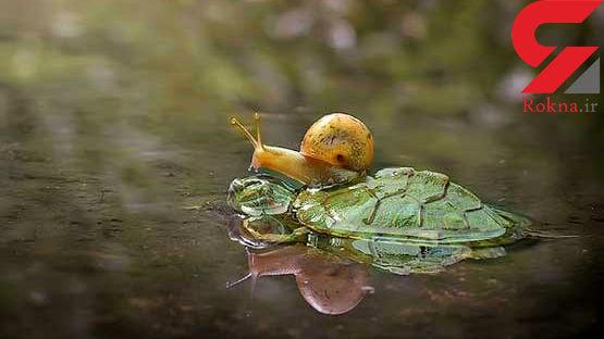 عکسی جالب از سواری گرفتن حلزون از لاک پشت!