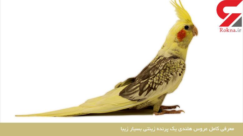 چرا این پرنده زیبای زینتی عروس هلندی نام گرفت + تصاویر