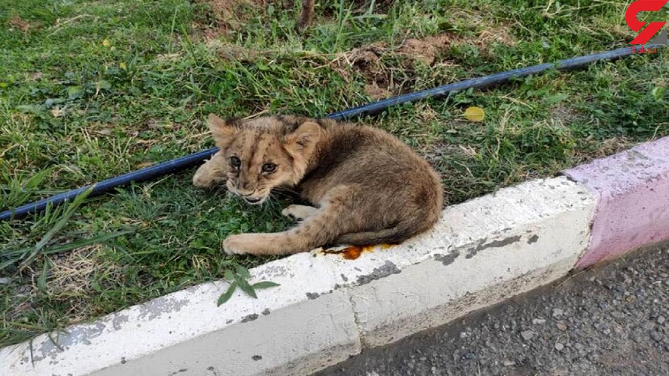 سفر توله شیر از  کردستان به تهران / کردستان مرکز نگهداری حیات وحش ندارد
