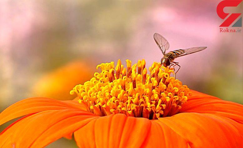 گرده زنبور عسل یک غذای کامل است