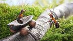 مورچه های کشاورزی که قهوه می کارند +عکس