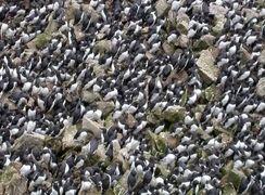 مرگ یک میلیون مرغ دریایی به خاطر گرمایش زمین