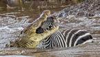 لحظه مرگ دردناک یک گورخر در دهان تمساح گرسنه+عکس