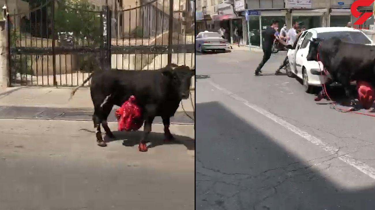 فرار گاو زخمی از دست قصاب در تهرانسر / پلیس گاو فراری را مهار کرد + فیلم