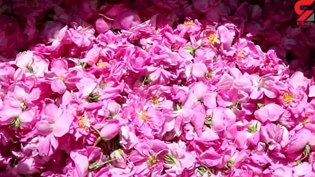 کاشت و برداشت گلهای محمدی در یزد + فیلم