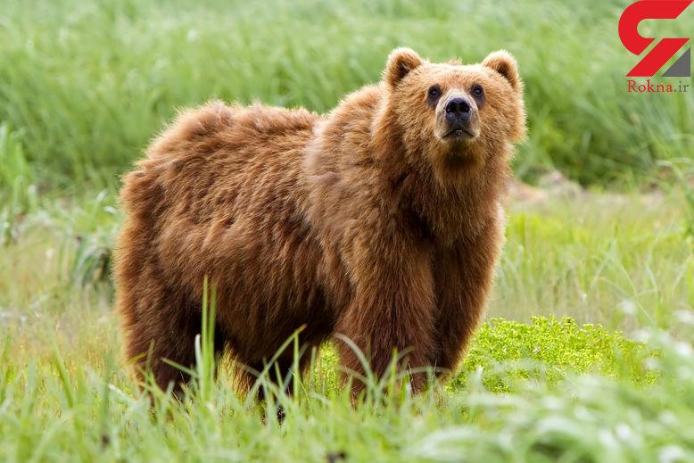 خرس وحشی پدر و پسری را تیکه پاره کرد ! / در سوادکوه رخ داد