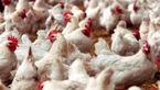 دستورالعمل کاهش مجدد سن کشتار گله مرغ مادر ابلاغ شد