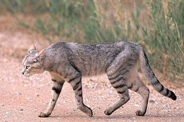 Wildcat spotted in Qazvin's Hunting-Prohibited area