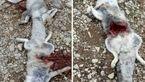کشتن روباه به خاطر صفرای ضد سرطان / متهمان تحت تعقیب+ عکس تلخ