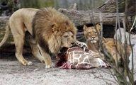 حیوانات باغ وحش ارم چقدر غذا می خورند؟