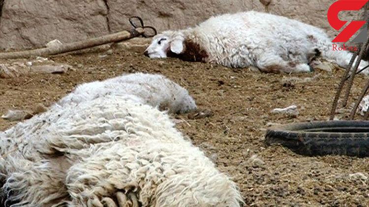 یک قلاده گرگ در بویین زهرا به گوسفندان حمله کرد