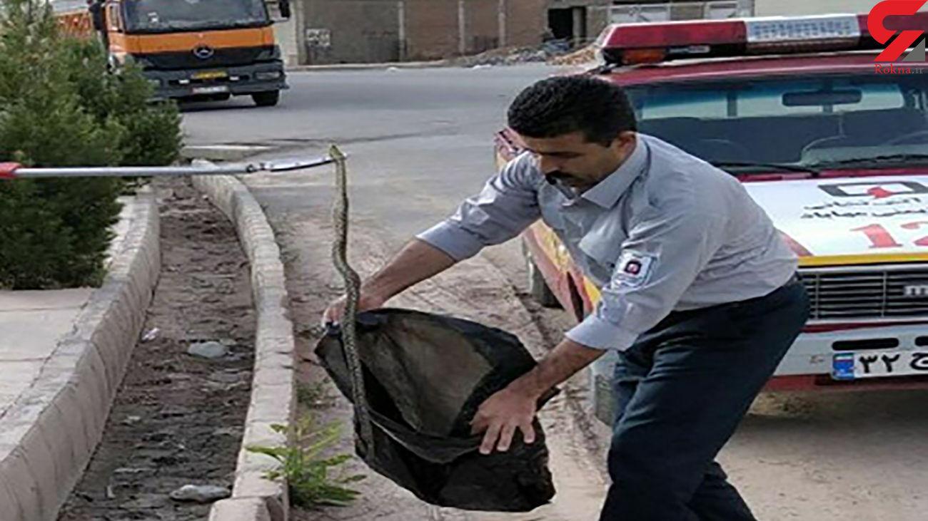 خوش شانس ترین مار سمی در منطقه مسکونی مهاباد
