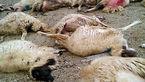 یک قلاده گرگ ۱۱ رأس گوسفند را تلف کرد