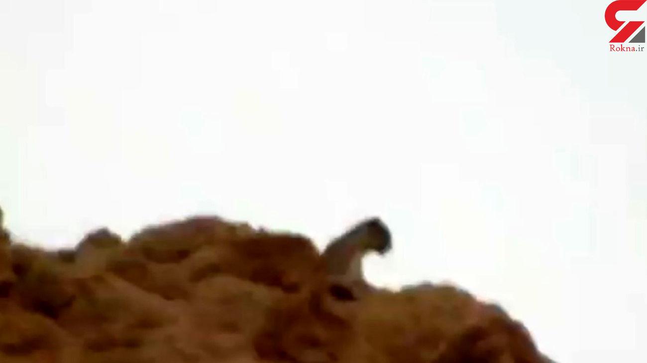 مشاهده یک قلاده پلنگ در منطقه شکار ممنوع بدیل در بهبهان