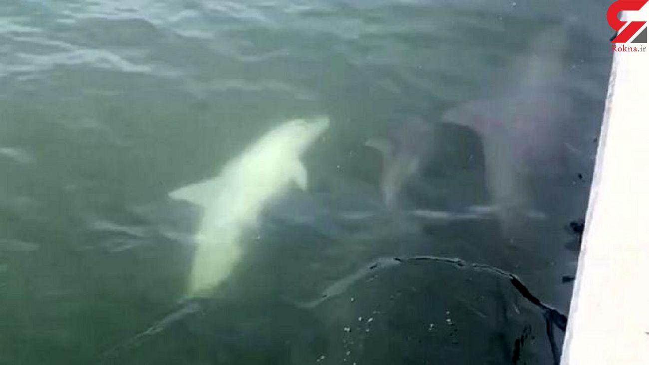حیرت از مشاهده دلفین سفید نادر! + فیلم
