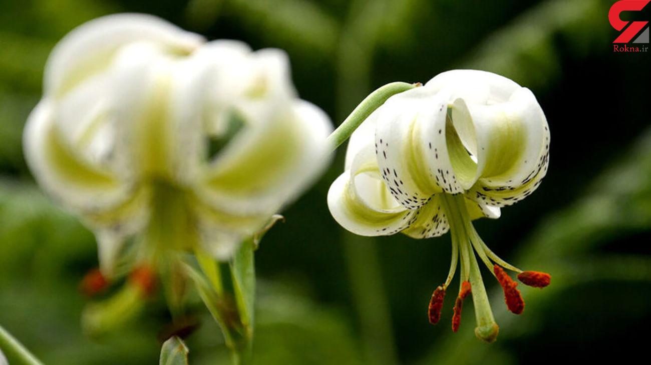 ردپای گل نایاب در گیلان + عکس