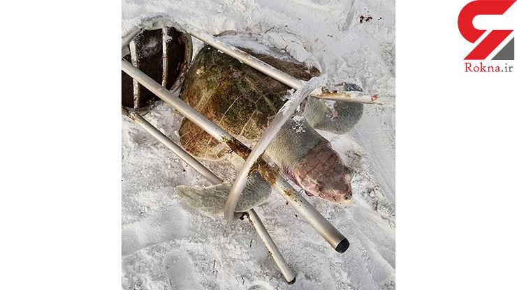 صحنه غم انگیز / لاک پشت دریایی کمیاب درون یک صندلی گیر کرد و با رنج زیاد کشته شد+تصاویر