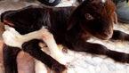 تصاویری از تولد موجودی عجیب و غریب درلرستان