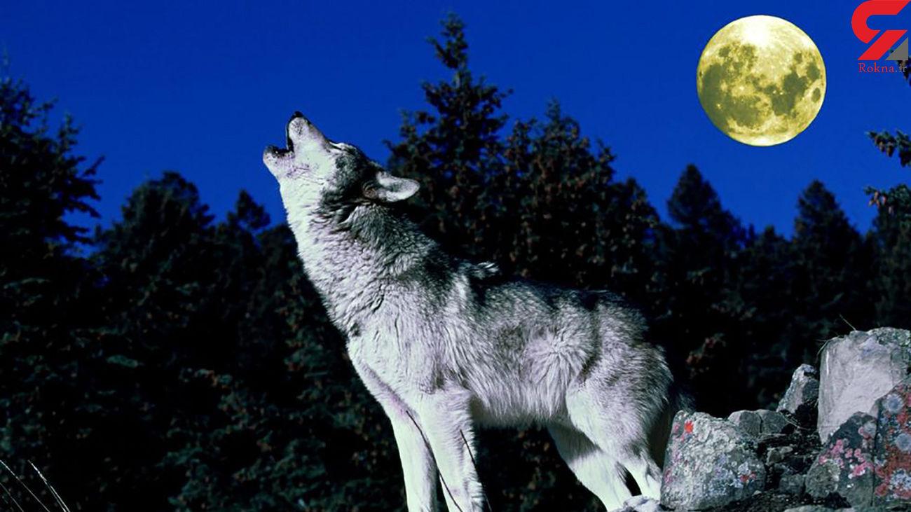 فیلم نجات گرگ وحشی به دست مرد شجاع!