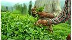 بازرگانان در صف خرید چای ایرانی/ برداشت ۲۶ هزار تن برگ سبز چای