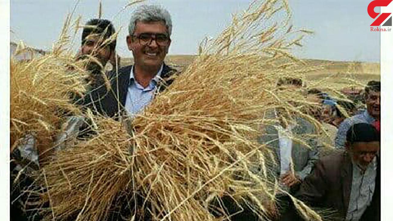 برداشت گندم در سرزمین خوشه های طلایی هشترود ثبت ملی شد