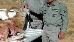 لاشه قوچ وحشی در قمصر پیدا شد