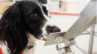 شناسایی کرونایی ها توسط سگ ها + عکس