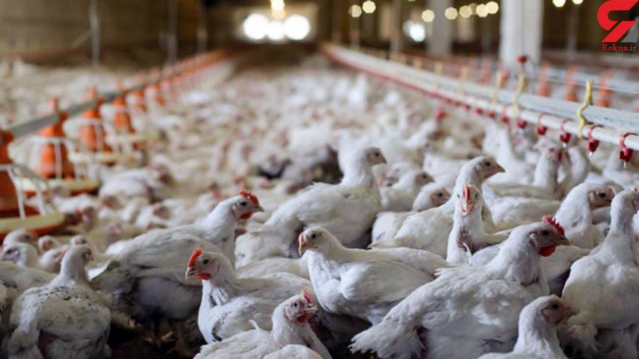 مشاهده آنفلوآنزای فوق حاد پرندگان در تبریز