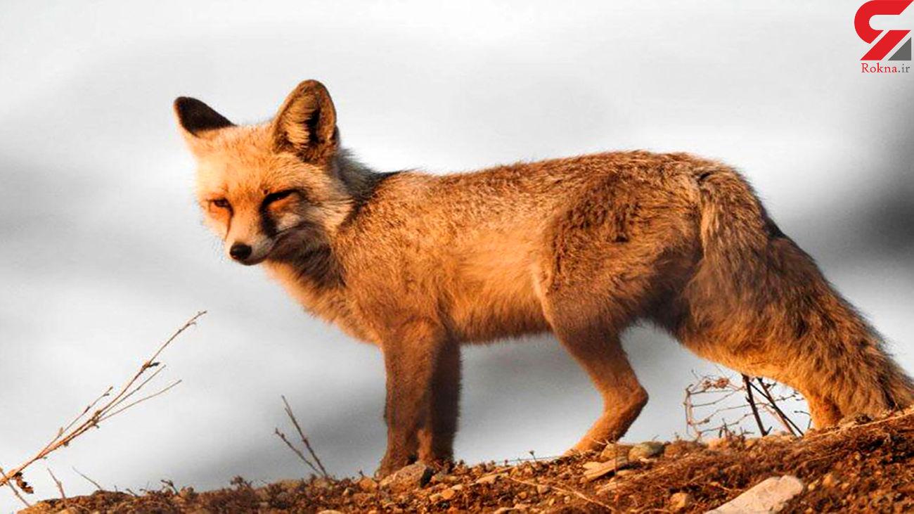 فیلم لحظه نجات روباه گرفتار در حصار فلزی /در نظر آباد رخ داد