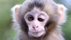 تصمیم گیری میمون ها با امواج فراصوتی
