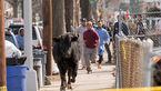 جولان وحشتناک گاو وحشی در شهر