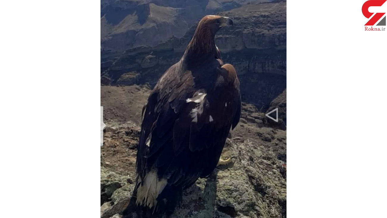 بزرگترین عقاب ایران در قلعه ضحاک + فیلم و عکس اختصاصی
