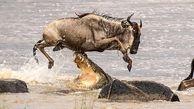 لحظه پرش گاو وحشی از روی آرواره تمساح + تصاویر