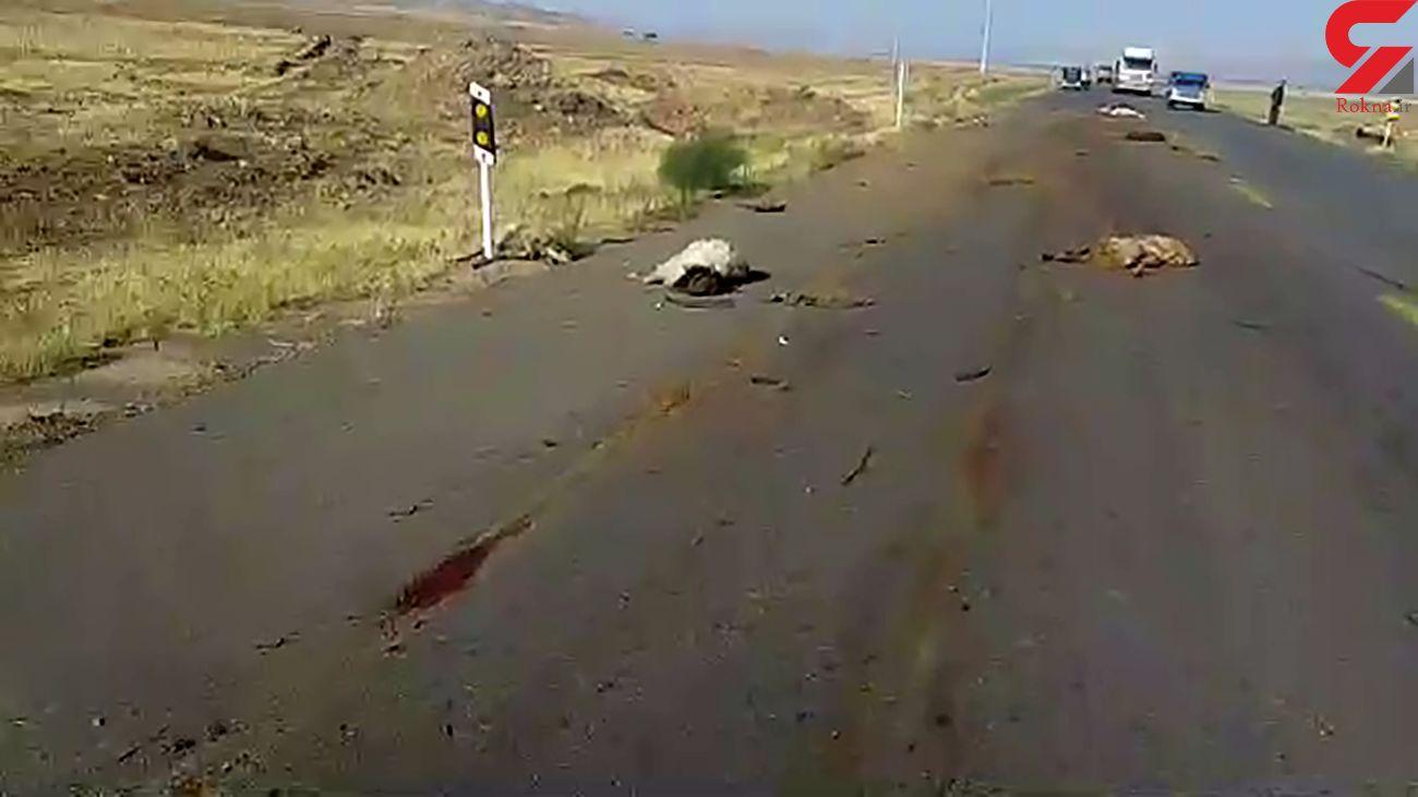 تلف شدن گله گوسفندان به علت برخورد با خودرو