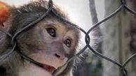 زنده گیری دومین میمون رها شده در جنگلهای سیاهکل