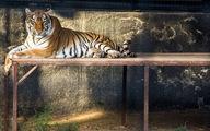 علت مرگ ببر باغ وحش صفادشت چه بود + جزییات