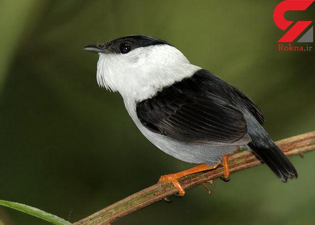 این پرنده  سریعترین عضله جهان را دارد + عکس